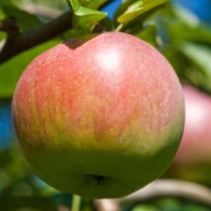 apples-06